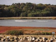 Brownsea lagoon - avocets