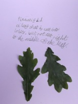 oak leaves and caption