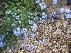forget-me-nots growing in the garden